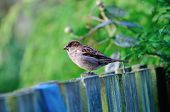 stock photo of bird fence  - Small House Sparrow standing on my garden fence - JPG