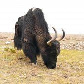 image of yaks  - Close up wild yak in Himalaya mountains - JPG