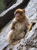 picture of algiers  - Barbary Macaque  - JPG