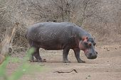 stock photo of amphibious  - A Hippo outside the water (Hippopotamus Amphibious)