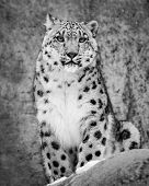 image of leopard  - Frontal portrait of a sitting Snow Leopard - JPG