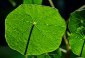 picture of nasturtium  - Close up of green Nasturtium leaf in sunlight