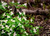 image of trillium  - A bed of white trilliums in the composed on left side of the frame - JPG
