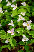 stock photo of trillium  - A lone White Trillium shown in it - JPG