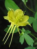 image of columbine  - Close - JPG