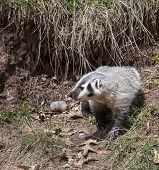 image of badger  - Young American badger cub - JPG