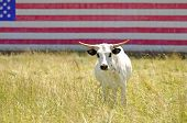 pic of texas-longhorn  - Texas longhorn steer in a field with a american flag painted on a barn - JPG