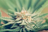stock photo of cbd  - Closeup of Cannabis female plant in flowering phase - JPG