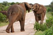 stock photo of male-domination  - Two male African elephants trying assert their dominance - JPG