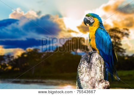 Blue and Yellow Macaw in Pantanal, Brazil  poster