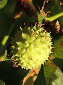 pic of chestnut horse  - conker of horse - JPG