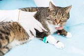 stock photo of infusion  - tiger cat getting a infusion at a animal clinic - JPG