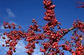 stock photo of boise  - Scarlet - JPG