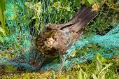 image of songbird  - Forest songbird passerine entangled in the net