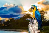 foto of flood  - Blue and Yellow Macaw in Pantanal - JPG