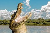 stock photo of crocodiles  - Amazing Wild Crocodile in Pantanal River  - JPG