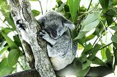 picture of koala  - Cute Koala on the tree - JPG