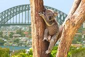 pic of koala  - Cute Koala in Sydney - JPG