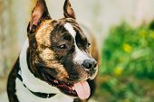 stock photo of american staffordshire terrier  - Nice Adult Dog American Staffordshire Terrier Outdoor Close Up - JPG