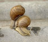 pic of garden snail  - Snails crawling on stone in the garden