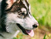 pic of eskimos  - Close Up Young Happy Husky Puppy Eskimo Dog Face - JPG