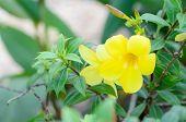 picture of trumpet flower  - Beautiful yellow flower Golden trumpet vine Yellow bell (Allamanda cathartica) ** Note: Shallow depth of field - JPG