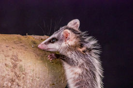 picture of opossum  - andean white eared opossum climbing a branch zarigueya over black background - JPG