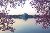 picture of thomas jefferson memorial  - Thomas Jefferson Memorial at cherry blossom in Washington DC - JPG