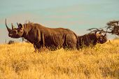 stock photo of rhino  - Black White Rhino Mum look Left and Calf Baby Rhino looking Right - JPG