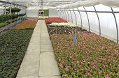 foto of convection  - flowers which are growing in a greenhouse in France - JPG