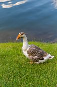 stock photo of baby goose  - goose with pink beak floating in the lake on a Sunny summer day - JPG
