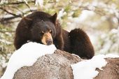 image of bear  - Resting Black Bear in Early Spring - JPG