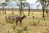 picture of antelope horn  - Safari - JPG