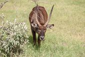 image of antelope horn  - Safari. antelope on a background of green grass ** Note: Shallow depth of field - JPG