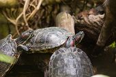 picture of terrapin turtle  - Three terrapin turtles in nature - JPG