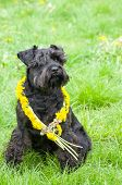 stock photo of schnauzer  - Decorated Black Miniature Schnauzer Dog Sitting on Grass  - JPG