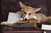 stock photo of corgi  - Pembroke welsh Corgi reading a book - JPG