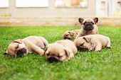 image of sleeping  - little sleeping French bulldog puppies lying on a beautiful green grass - JPG