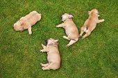 picture of sleeping  - little sleeping French bulldog puppies lying on a beautiful green grass - JPG