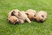stock photo of little puppy  - little sleeping French bulldog puppies lying on a beautiful green grass - JPG