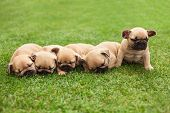 picture of little puppy  - little sleeping French bulldog puppies lying on a beautiful green grass - JPG