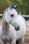 foto of lipizzaner  - Portrait of purebred white horse in arena - JPG