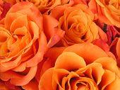 foto of rose close up  - A close - JPG