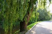 stock photo of weeping willow tree  - Weeping willows along the stream near the driveway - JPG