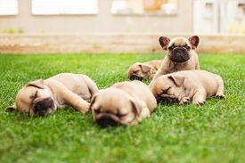 picture of bulldog  - little sleeping French bulldog puppies lying on a beautiful green grass - JPG