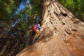 stock photo of redwood forest  - Man climbing on trunk of big tree in Redwood California during summer sunny day view from below - JPG