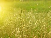 pic of dry grass  - Field with yellow dry grass at sunset - JPG