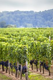 stock photo of bordeaux  - Vineyards and grapes in Summer near Bordeaux - JPG