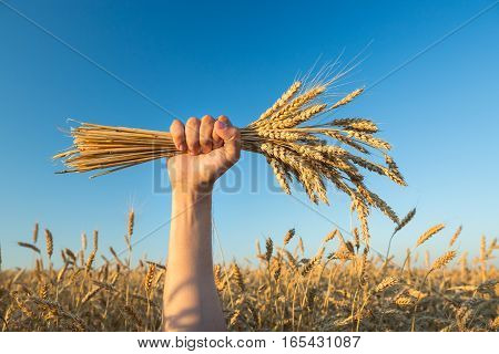 poster of Man holds a ripe wheat . Man hands with wheat. Wheat field against a blue sky. wheat harvest in the field. ripe wheat closeup.