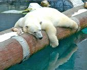 picture of polar bears  - polar bear on a pole with reflection on the water - JPG